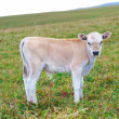 The calf on a summer pasture. — Stock Photo #12842457