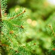 Background of spruce branches — Stock Photo #32612999