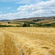 Stock Photo: Landscape of wheat field