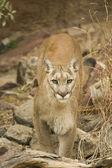 León de montaña — Foto de Stock