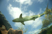 Shark Swims Above — Stock Photo