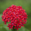 Pentas lanceolata - Egyptian Stars — Stock Photo
