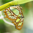 Malachite Butterfly(Siproeta stelenes) — Stock Photo