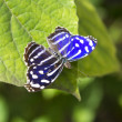 Stock Photo: Blue Wave Butterfly(Myscelicyaniris)