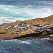 Seals on rocky ledge — Stock Photo