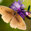 Brown butterfly polinated violet flower - Stock Photo