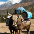 Yaks with goods on the way to Everest base camp and Ama Dablam, Lhotse, Nuptse and top of Everest — Stock Photo #13633114