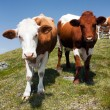 Group of cows (bos primigenius taurus) in alps on pasture - Stock Photo