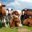 Group of cows (bos primigenius taurus) in alps on pasture — Stock Photo