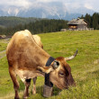 Morning view from Sexten Dolomites with cow — Stock Photo