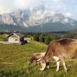 Stock Photo: Morning view from Sexten Dolomites with cow