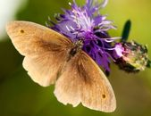 Brown butterfly polinated violet flower — Stock Photo