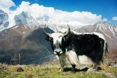 Yak - bos grunniens or bos mutus - in Langtang valley — Stock Photo