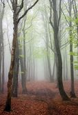 Springy view from foggy european beech wood — Stock Photo
