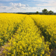 Field of rapeseed with beautiful cloud - plant for green energy — Stock Photo #20504361