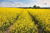 Field of rapeseed with beautiful cloud - plant for green energy — Stock Photo
