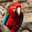 Ara Ararauna parrot - red macaw — Stock Photo