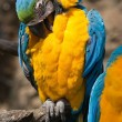 Ara Ararauna parrot - blue yellow macaw — Stock Photo