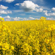 Field of rapeseed with beautiful cloud - plant for green energy — Stock Photo #20583445