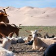 Goat - dune - desert - mongolia - Stock Photo