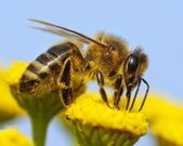 Detail of honeybee — Stock Photo