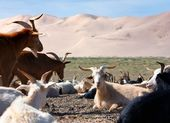 Goat - dune - desert - mongolia — Stock Photo