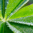 Stock Photo: Leaf of lupinus with drops of water