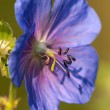 Flower of medadow cranesbill - geranium pratense — Stock Photo