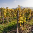 Autumnal view of vineyard - Palavske Vrchy - Moravia - Czech Republic — Stock Photo