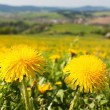 Spring time and meadow with common dandelion (taraxacum) — Stock Photo