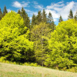 Springy green wood - beautiful european beechs — Stock Photo