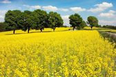 Field of rapeseed plant for green energy — Stock Photo