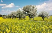 Springtime beautiful view of rapeseed field, alley of apple tree and sky with cloud — Stock Photo