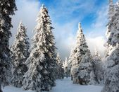 Beautiful wintry view of snowy wood on mountains — Stock Photo