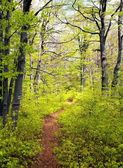 Springy view from european beech wood with pathway — Stock Photo