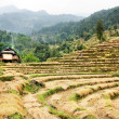 Stock Photo: Cutting field of rice - harvest in Nepal