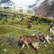 Stock Photo: Stockriders with dogs and flock in alay mountains