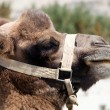 Stock Photo: Portrait of Camel head