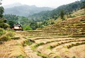 Cutting field of rice - harvest in Nepal — Stock Photo