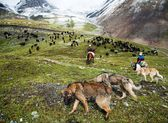 Stockriders with dogs and flock in alay mountains — Stock Photo