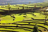 Green field of rice in nepal — Stock Photo