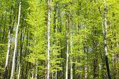 Spring wood of beech trees — Stock Photo