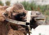 Portrait of Camel head — Stock Photo