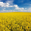Stock Photo: Field of rapeseed with beautiful cloud - plant for green energy