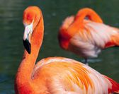 American Flamingo - Phoenicopterus ruber - beautiful red colored bird — Stock Photo