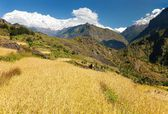 Rice field and snowy Himalayas mountain in Nepal — Stock Photo