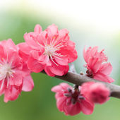 Pink cherry tree — Stock Photo