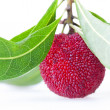 Stockfoto: Close up of one waxberry