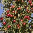 Stock Photo: Red mellow apples in late summer