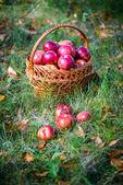 Podzimní jablka — Stock fotografie